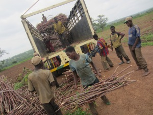 Cassava unloading